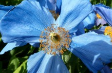 Blue poppy flowers wallpaper