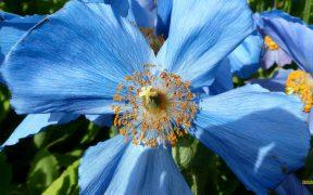 HD wallpaper blue poppy flower