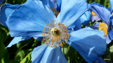 HD wallpaper blue poppy flower