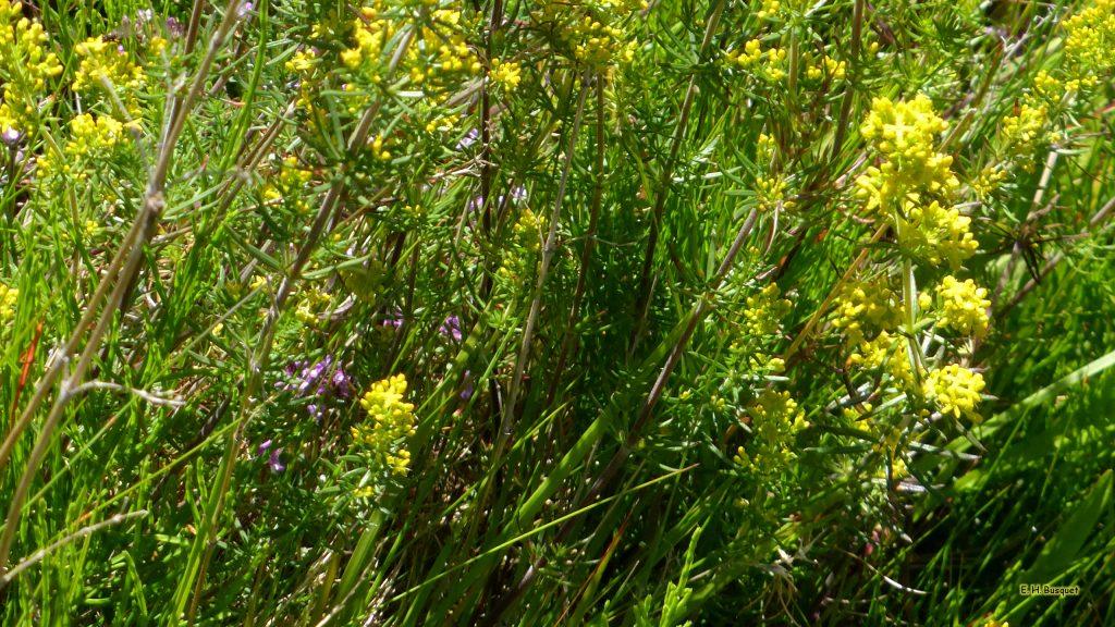 HD wallpaper wild flowers in Iceland