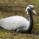 HD wallpaper demoiselle crane