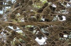 Pine cones wallpaper