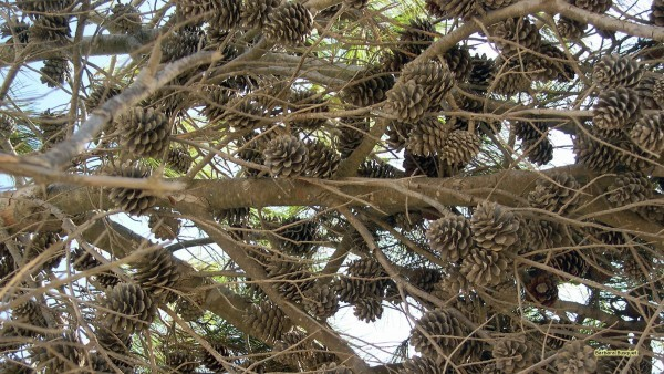 HD wallpaper pine cones