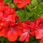 Red geranium in summer
