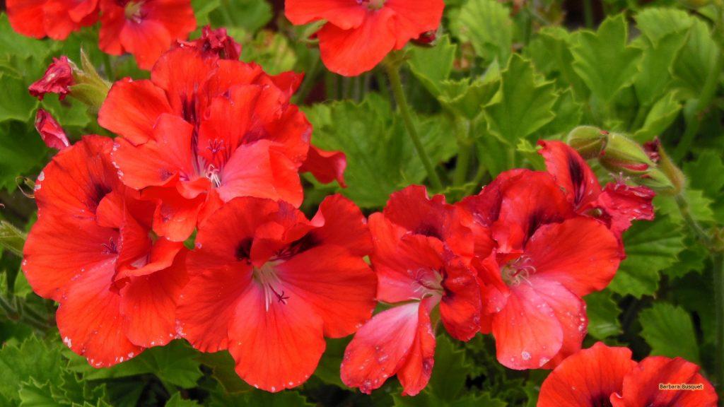 HD wallpaper red geraniums in summer
