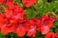 Red geranium in summer