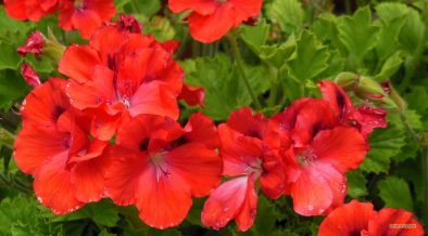 HD wallpaper red geraniums in summer