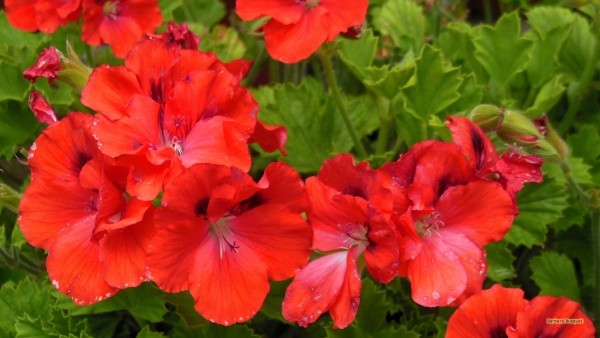 HD wallpaper red Zonal pelargoniums in summer