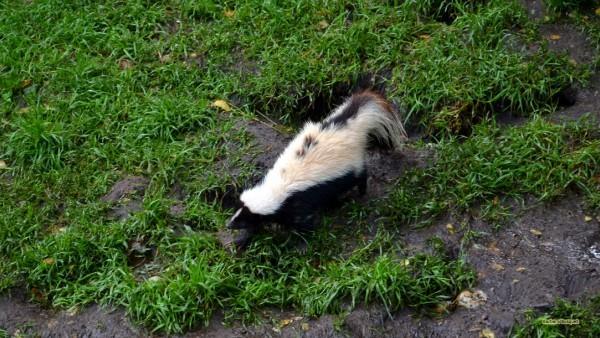 HD wallpaper striped skunk