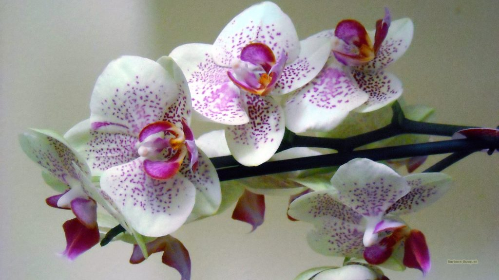 White pink orchid wallpaper