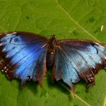 iPhone seven wallpaper black blue Butterfly on leaf