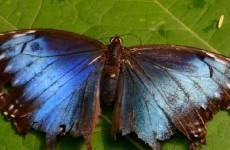 iPhone seven wallpaper black blue Butterfly on leaf