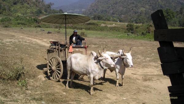 Bullock cart in Thailand