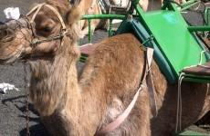 Camel safari Lanzarote
