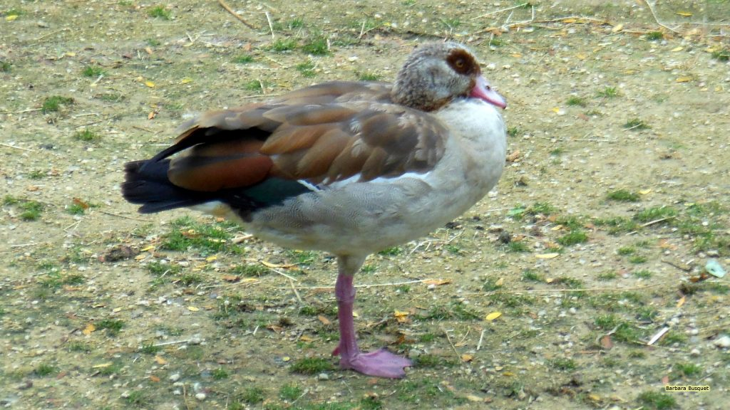 Desktop background Egyptian goose