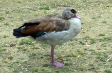 Egyptian goose in zoo