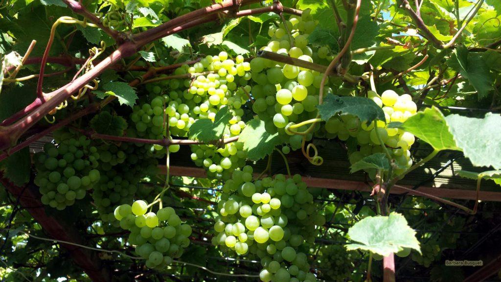 Desktop background grapes