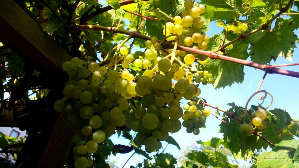 Grapes plants wallpaper