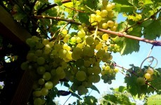 Grapes in the back yard