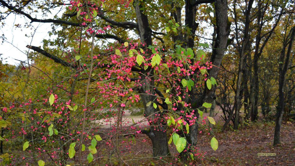 HD wallpaper Euonymus in autumn