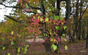 HD wallpaper Euonymus in autumn