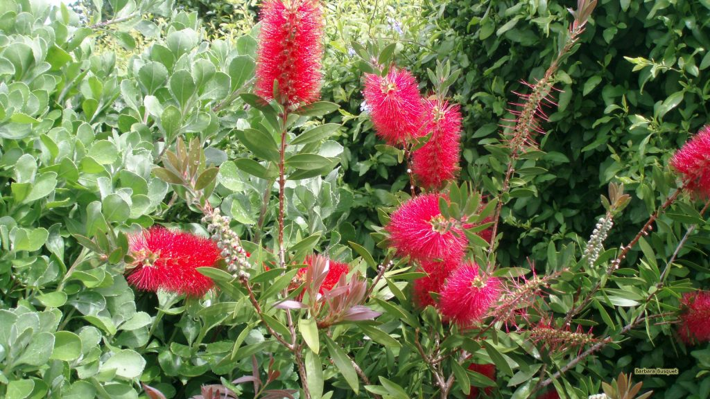 HD wallpaper Callistemon or bottlebrushes