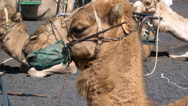 HD wallpaper camel safari Lanzarote