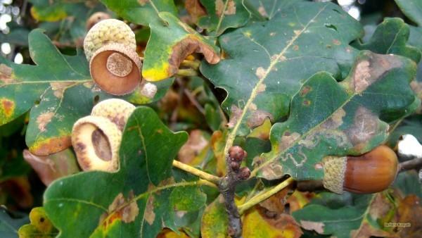 HD wallpaper empty acorn shells