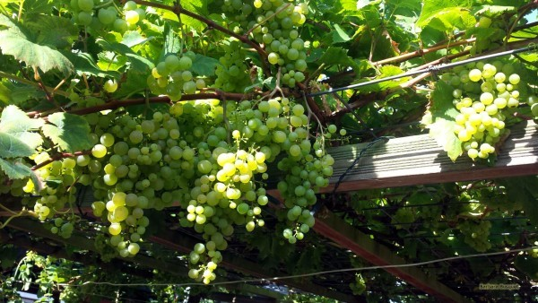 HD wallpaper grapes in yard