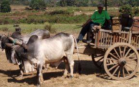 HD wallpaper Ox cart in Thailand.