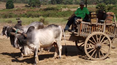 HD wallpaper Ox cart in Thailand.