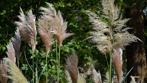 HD wallpaper pampas grass