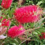 Red bottlebrushes wallpapers