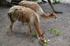 Llamas in zoo