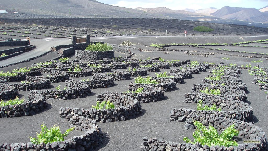 HD wallpaper with vineyards on Lanzarote.