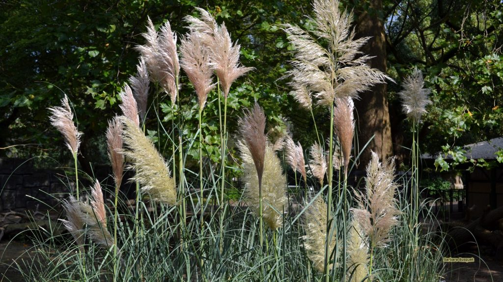 Pampas grass in zoo