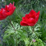 Papaver rhoeas (red poppy) wallpaper