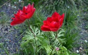 Papaver wallpaper red poppy