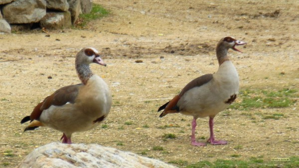 Wallpaper Egyptian goose in zoo