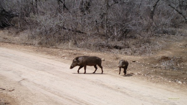 Photo with common or desert warthogs.