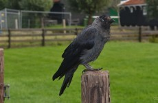 Western jackdaw on a pole