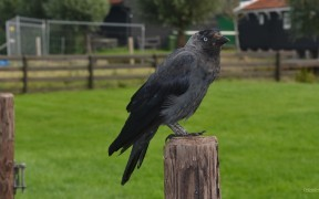 HD wallpaper European jackdaw