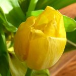 HD wallpaper close-up photo yellow tulip