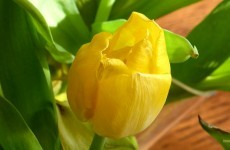 Close up yellow tulip
