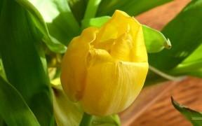 HD wallpaper close-up photo yellow tulip