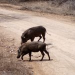Warthogs crossing the road in South Africa.
