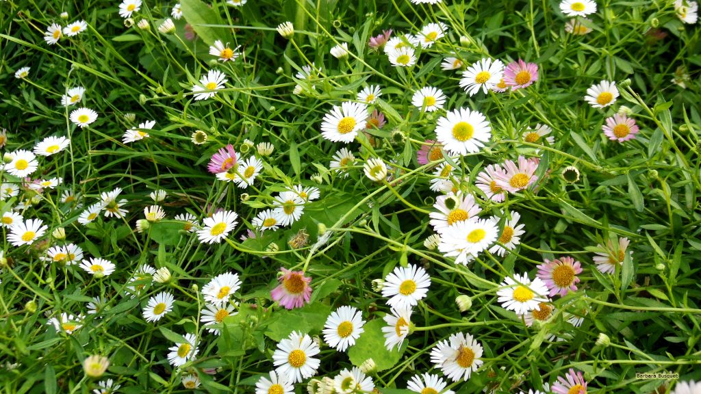Bellis perennis daisies wallpaper