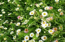 Bellis perennis daisy wallpaper