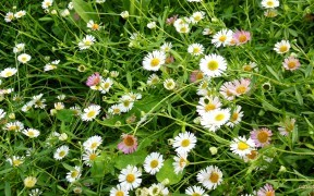 Bellis perennis daisies wallpaper