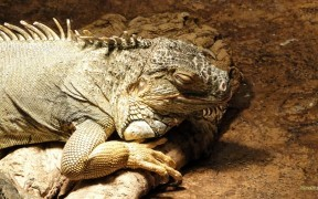 HD wallpaper green iguana
